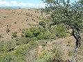 Arbol rabo de iguana - panoramio.jpg