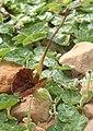 Aristolochia lindneri IMG 3079.jpg