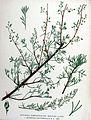 Artemisia campestris subsp. maritima (1a).jpg