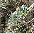 Artemisia nova 5.jpg
