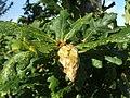 Artichoke gall on oak - geograph.org.uk - 950022.jpg