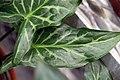 Arum italicum Marmoratum 1zz.jpg
