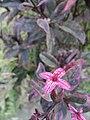 Arya-Pseuderanthemum-jayana-2019 03.jpg