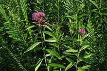 swamp milkweed wiktionary