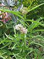 Asclepias fascicularis - Flickr - peganum.jpg