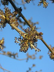 Jaseň štíhly - kvety