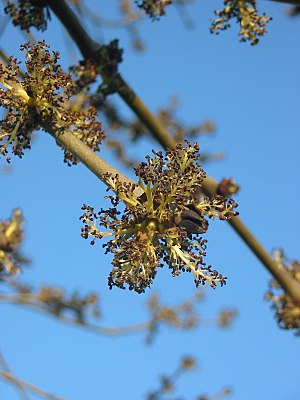 Fraxinus - European ash in flower