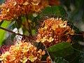 Ashoka (Assamese- অশোক) (6927650711).jpg