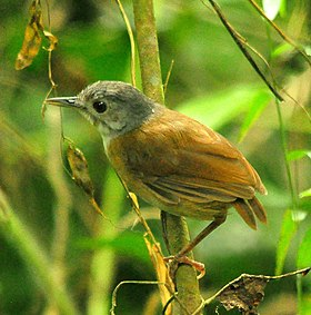 Ashy-headed Babbler.jpg