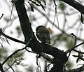 Asian Barred Owlet (Glaucidium cuculoides) at Jayanti, Duars, WB W IMG 5737.jpg