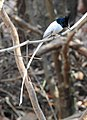 Asian Paradise Flycatcher Terpsiphone paradisi male by Dr. Raju Kasambe DSCN9956 (6).jpg