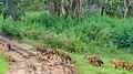 Asiatic Wild Dogs (43518941344).jpg