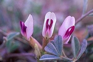 Astragalus newberryi - Astragalus newberryi castoreus