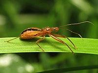 Assassin Bug - Flickr - treegrow (3).jpg