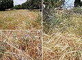 Associations of wild cereals and other wild grasses in northern Israel.jpg