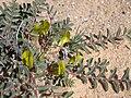 Astragalus caprinus.JPG