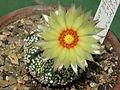 Astrophytum asterias cv. superkabuto 20.JPG