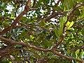 Atalantia racemosa Wight ex Hook. (5461127402).jpg