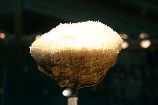 <i>Scolymia lacera</i> species of cnidarian