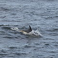 Atlantic white-sided dolphin swimming.jpg