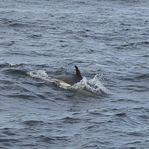 Atlantic white-sided dolphin - An Atlantic white-sided dolphin off the coast of Cape Ann, Massachusetts