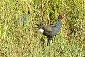 Australasian Swamphen, Wollombi, New South Wales (2399404245).jpg