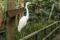 Australia Zoo Great White Egret-1 (18002269208).jpg