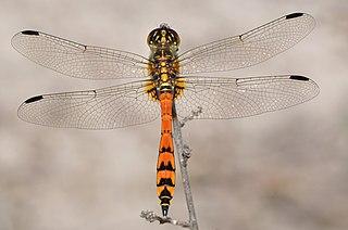 <i>Austrothemis nigrescens</i> Species of insect