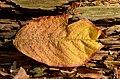 Autumn leaf - Herbstblatt 02.jpg