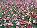Autumn red leaves, 2013.JPG
