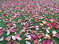 Autumn red leaves, 2013.JPG
