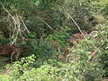 Axis axis - spotted deer - chital - from Bannerghatta National Park 8433.JPG