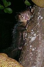 Aye-aye (Daubentonia madagascariensis) 3.jpg