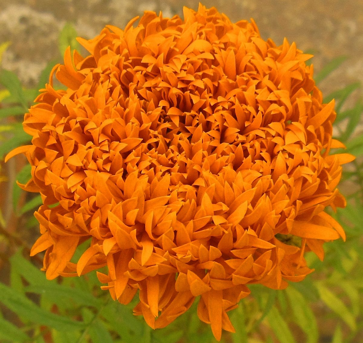 tagetes erecta Extract obtained from the flowers of the aztec marigold, tagetes erecta l,  asteraceae lutein extract, 5%, 20% lutein aztec, marigold flower extract  marigold flower.