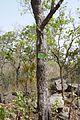 Bénin-Prosopis africana (1).jpg