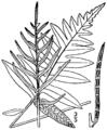 BB-0055 Lorinseria areolata.png