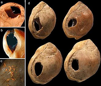 Blombos Cave - Blombos Cave shell beads