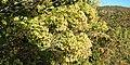 Baccharis halimifolia à Vazen.jpg
