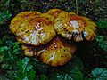 Baked mushrooms (21507073911).jpg