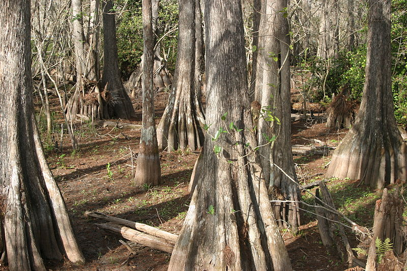 File:Bald cypress dirt.jpg