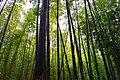Bamboo Forest (217948625).jpeg
