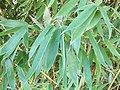 Bamboo leaf pile.jpg