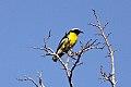 Bananaquit (Coereba flaveola) (8082128076).jpg