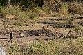 Banded mongoose, Ruaha National Park (2) (28618151042).jpg