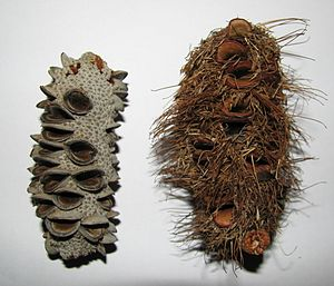 Follicle (fruit) - Image: Banksia integrifolia and marginata cones