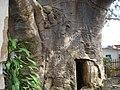 Baobab de Stanley, 700 ans d'existance (4028379269).jpg