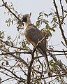 Bare-faced Go-away-bird (Corythaixoides personatus).jpg