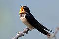 Barn swallow (Hirundo rustica rustica) singing.jpg