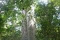 Barriguda ou paineira-branca (Ceiba glaziovii).jpg