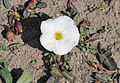 Beach morning-glory (Ipomoea imperati) 10.jpg